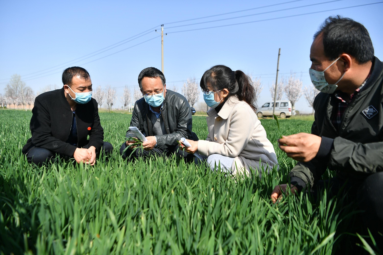 2020年3月17日,西安市农技中心农业科技特派员(左二)在陕西省西安市周至县广济镇与基层农技员交流小麦生长情况。新华社记者 张博文 摄.JPG